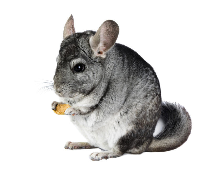 Image Chinchillas – A rough guide to owning Chinchillas