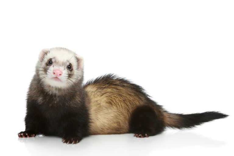 Image Ferrets – A rough guide to owning Ferrets
