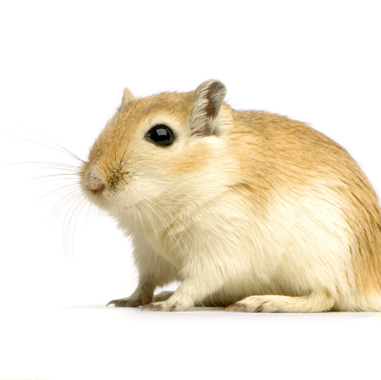 Image Gerbils – A rough guide to owning Gerbils
