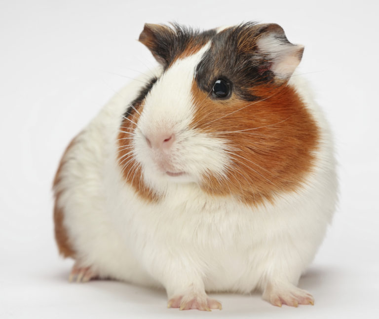 Image Guinea Pigs – A rough guide to owning Guinea Pigs