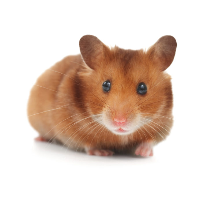 Image Hamsters – A rough guide to owning Hamsters