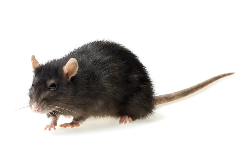 Image Rats – A rough guide to owning Rats