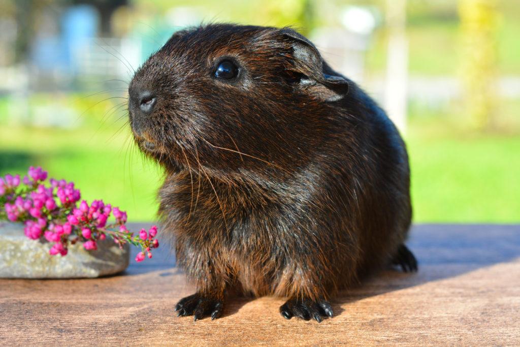 Canva – Black Brown Guinea Pig