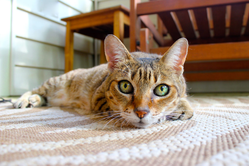 Canva – Brown Cat Lying on Area Rug