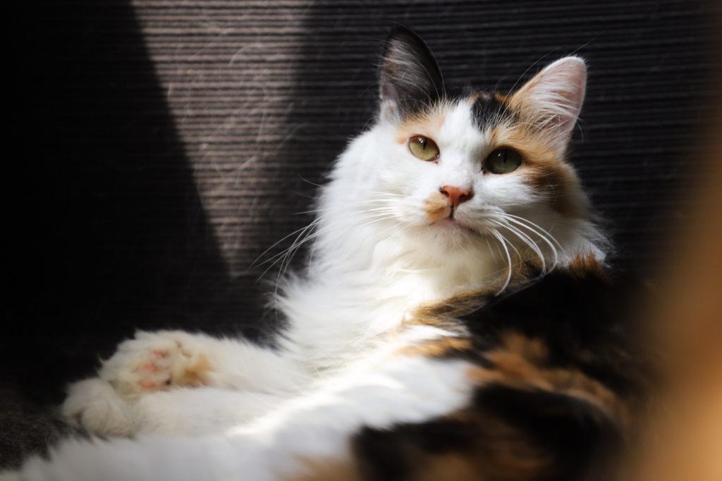 Canva – Cat Lying On Sofa