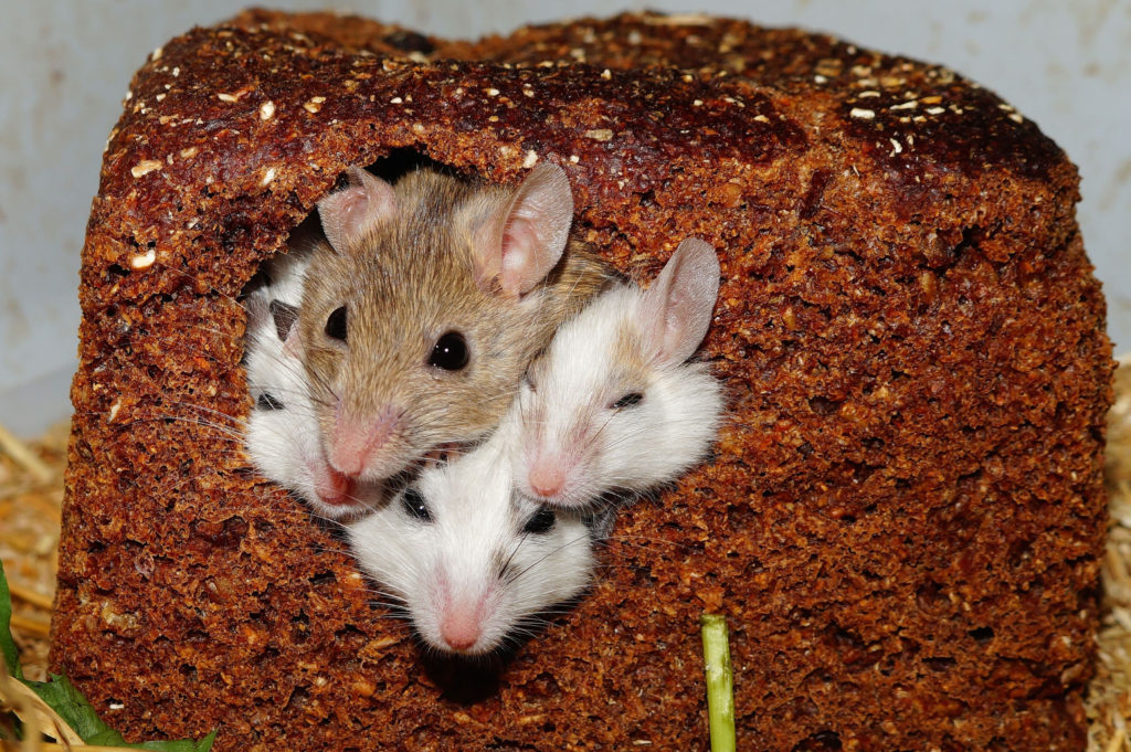 Canva – Four Small White Brown Mice Poking Their Heads Out from a Bread Loaf