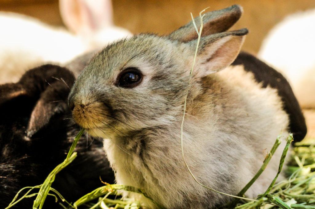 Canva – Gray Rabbit