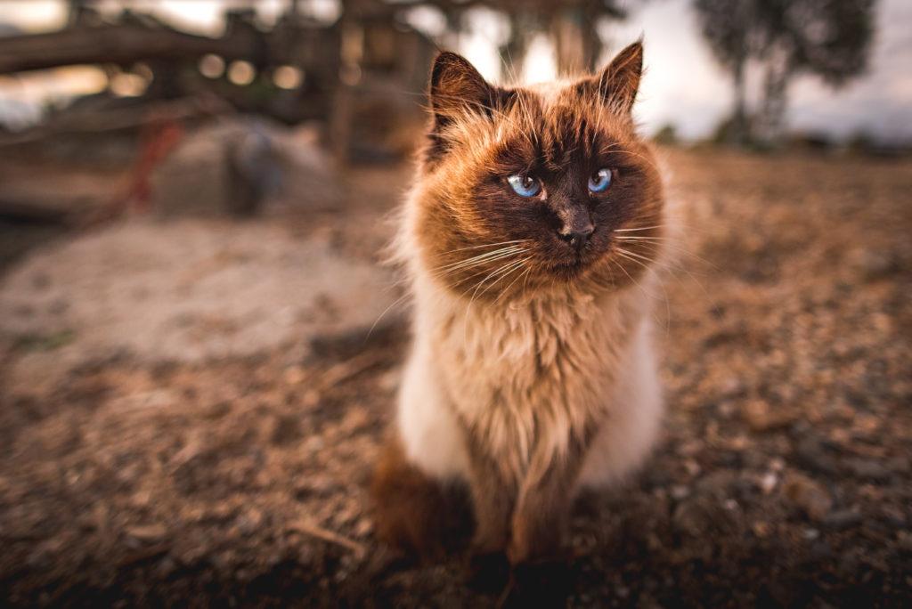 Canva – Himalayan Cat