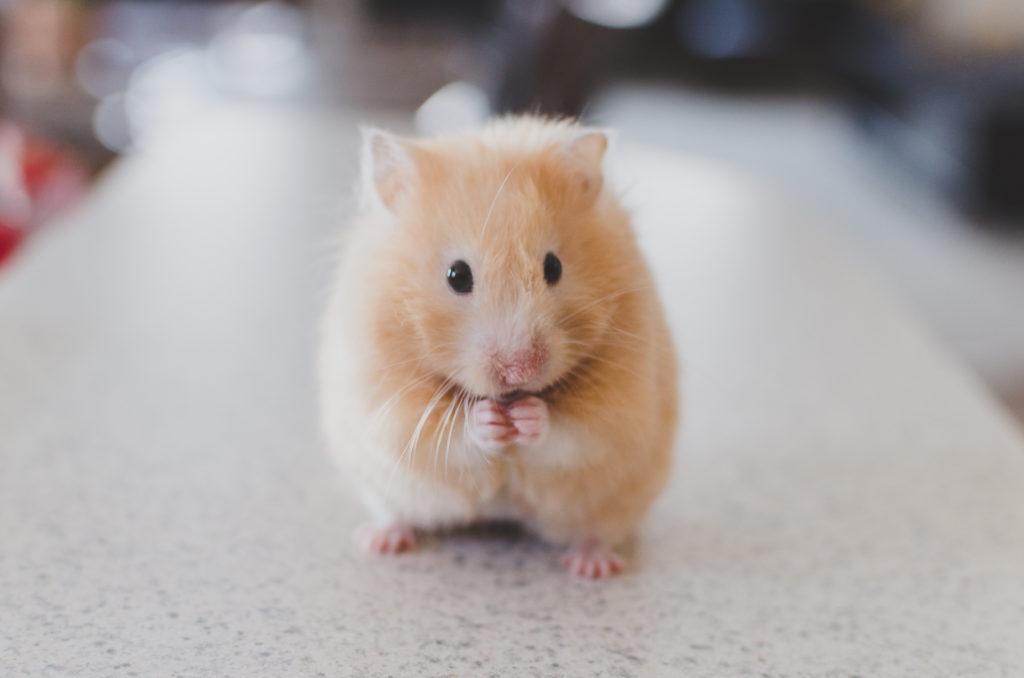 Canva – Small Hamster Pet