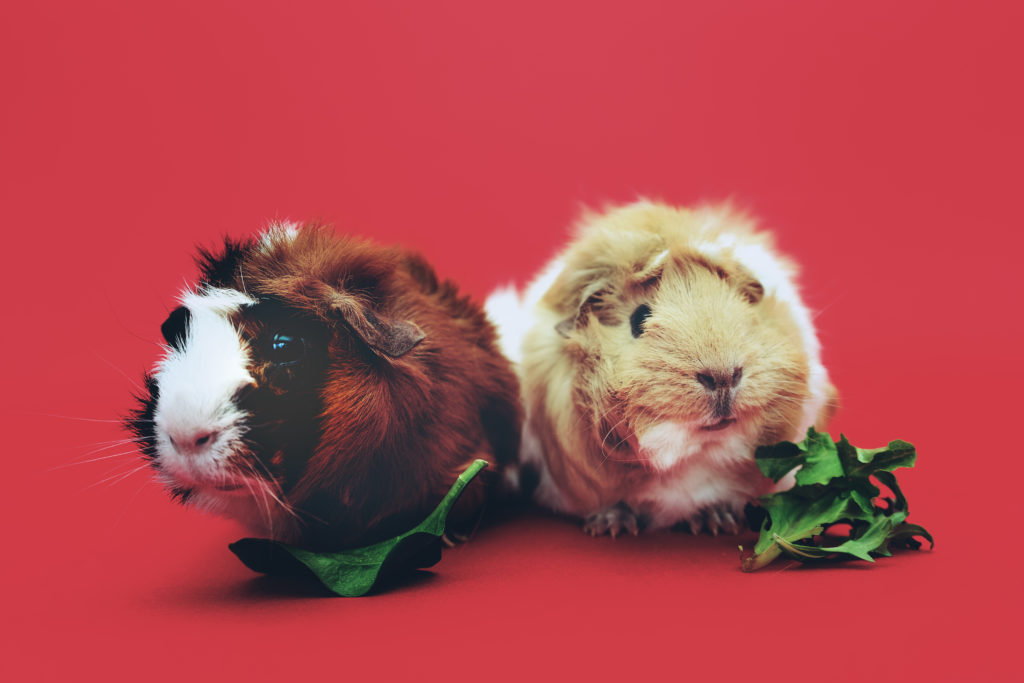 Canva – Two Brown and Beige Guinea Pigs