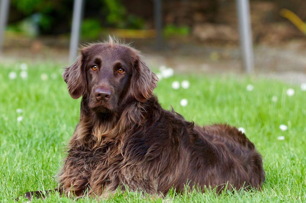 Canva – Adult Flat-coated Retriever Lying on Lawn Grass Selective Focus Photography