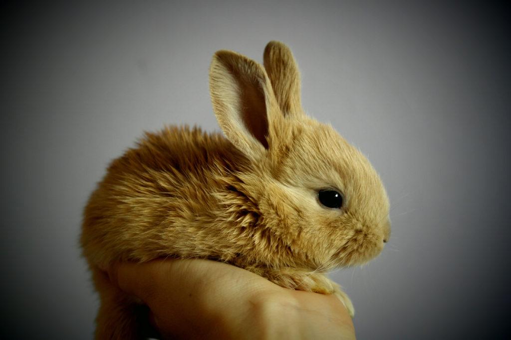 Canva – Brown Rabbit