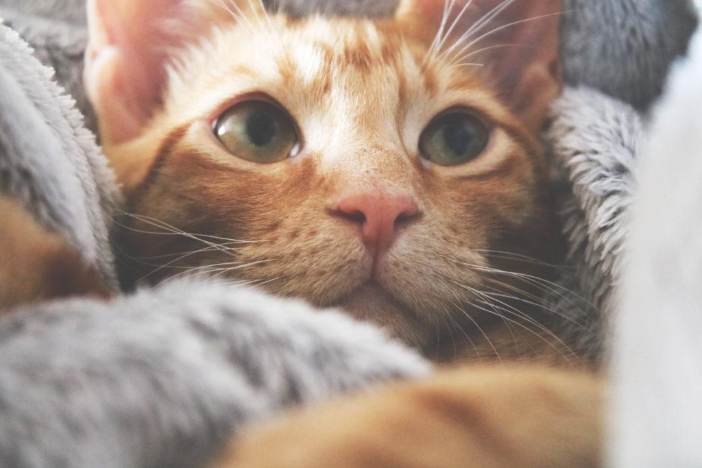 Canva – Orange Kitten