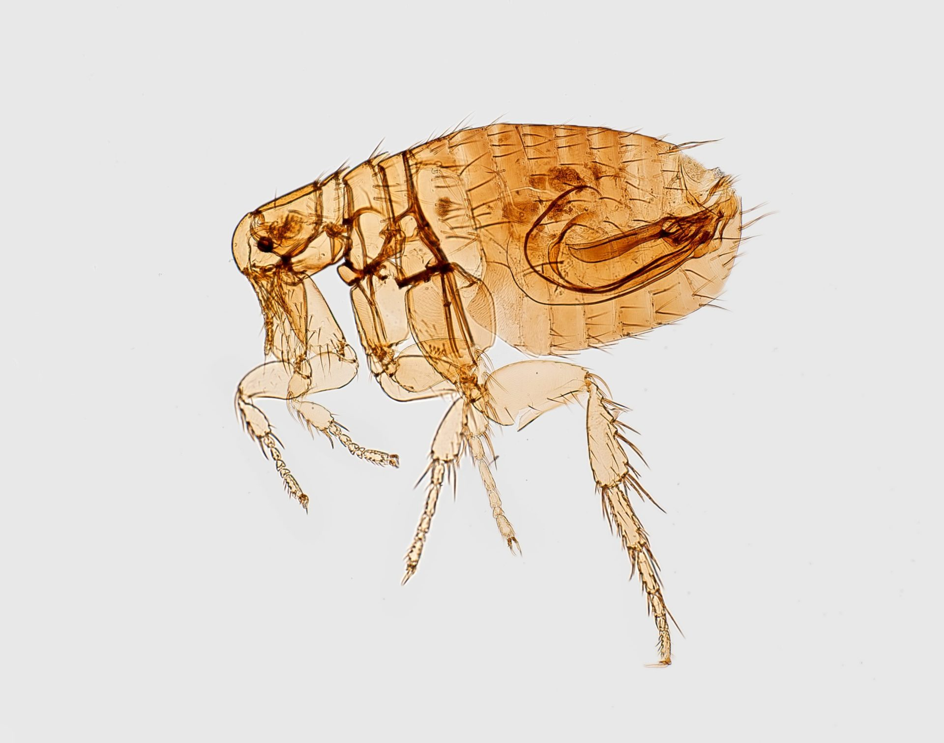 Do You Think You Know About Fleas?
